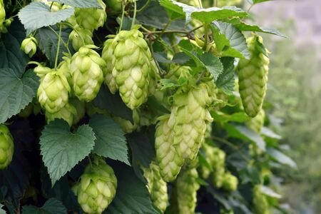 bine: ripe hops in the fall outdoors Stock Photo