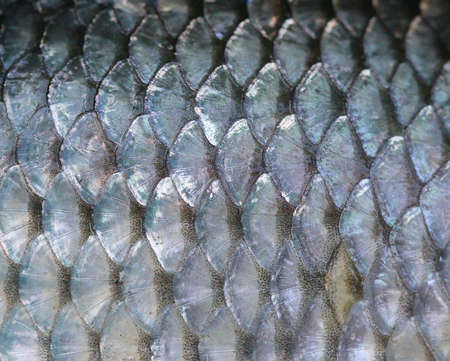 texture of fish scales Stock Photo - 3899238