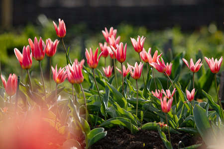 Red tulip flowers in the natural park Stock Photo