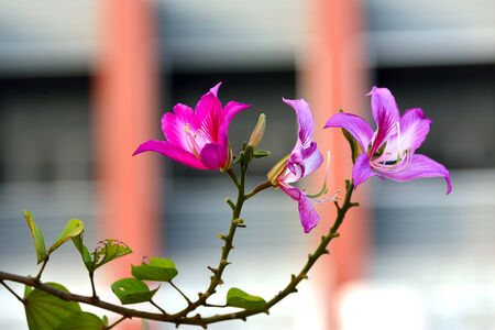 violett: Purple Orchid in Thailand