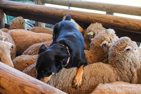 A sheepdog rests on the back of the sheep he just coralled in wooden pen