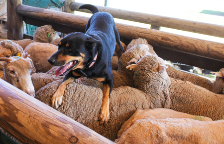 A sheepdog with tongue hanging out rests on the back of the sheep he just coralled in wooden pen Imagens