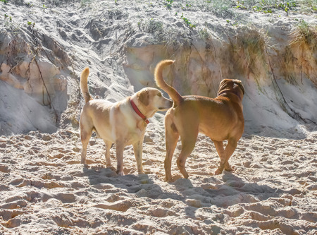 A dog sniffing another dogs butt on the beach with churned up sand Imagens