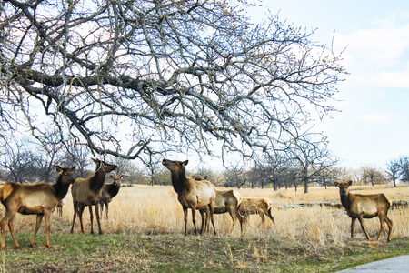 A heard of molting yearling elk eating newly spouted leaves from an overlanging limb in very early spring