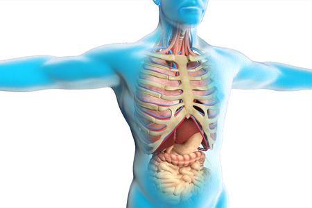 sistema digestivo: La anatomía del cuerpo humano Foto de archivo