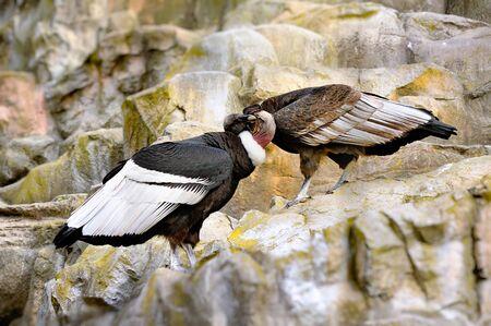 scavenging: Two big beautiful condors Stock Photo