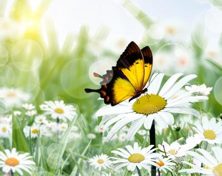 chamomiles en vlinder in de natuur Stockfoto