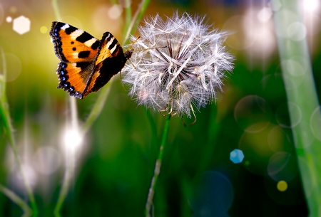 Dandelion with butterfly photo