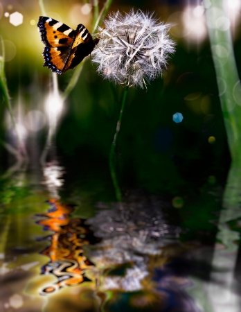 butterfly dandelion with water reflection photo