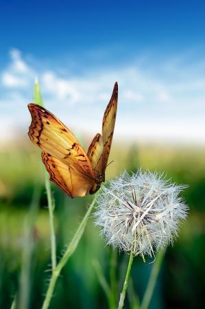 Paardenbloem met vlinder zomerdag Stockfoto