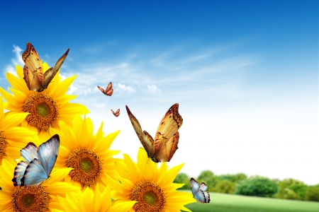 Sunflower background with butterflies Stock Photo - 17044108