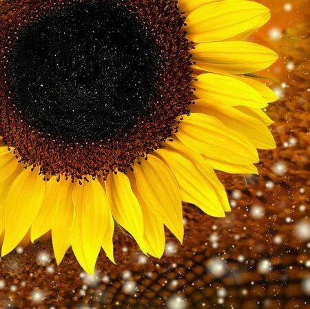 zonnebloem Stockfoto
