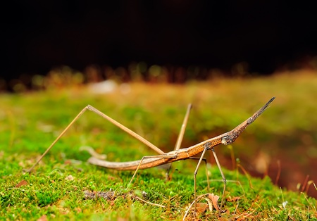 arthropod: Conehead mantis  Empusa pennata   Immature female  Stock Photo