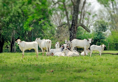 conservation grazing: Zebu cattle cows on a farm in the countryside of Paraguay Stock Photo