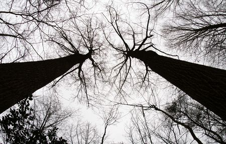 twin trees with branches forming the shape of a heart. photo