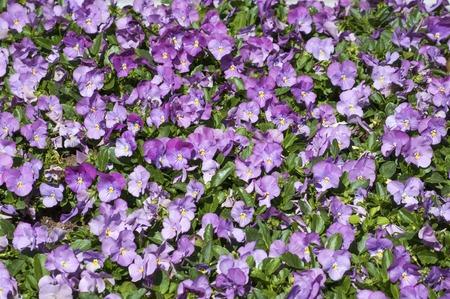 seasonable: Many violet pansies on a flowerbed in the park