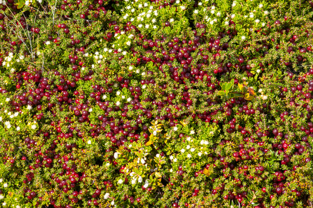 tundra: Tundra moss and flowers texture, berries of crowberry Stock Photo