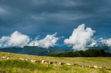peril: Sheep pasture in Carpathian mountains on dark contrasting cloudy double-level sky background Stock Photo