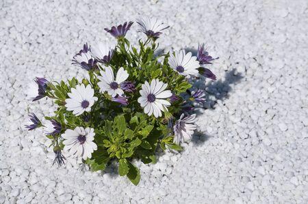 firmeza: Peque�o arbusto de flores de color lila en el desierto resistentes a las altas temperaturas Foto de archivo