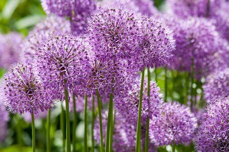 seasonable: Big purple balls of garden allium (onion or garlic) plant background Stock Photo
