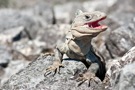 boca abierta: iguana gris con extra�os en la boca atacando abiertas en Palenque, M�xico
