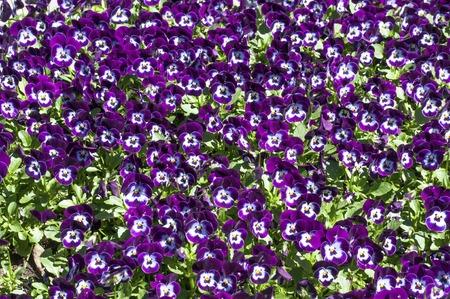 seasonable: Many purple pansies background