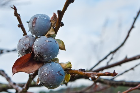 diospyros: Date-plum, Caucasian persimmon, lilac persimmon or diospyros lotus - widely cultivated fruit Stock Photo