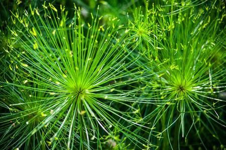 equisetum: Equisetum arvense green plant close-up spring background