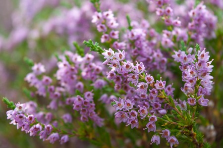 Heather flowers blossom in august, moorland in Norway