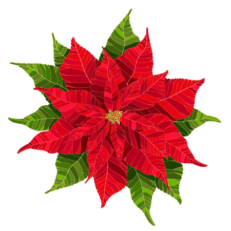Red poinsettia flower realistic vector illustration, Christmas and new year flower