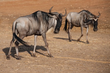 The blue wildebeest - Connochaetes taurinus - is walking in the desert Stock Photo