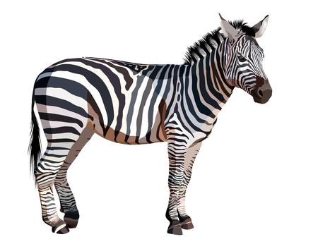 Zebra africana su sfondo bianco illustrazione vettoriale Archivio Fotografico