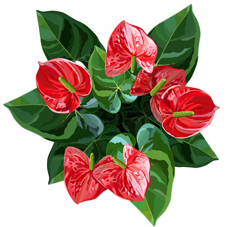 Red anthurium or flamingo flowers top view vector illustration