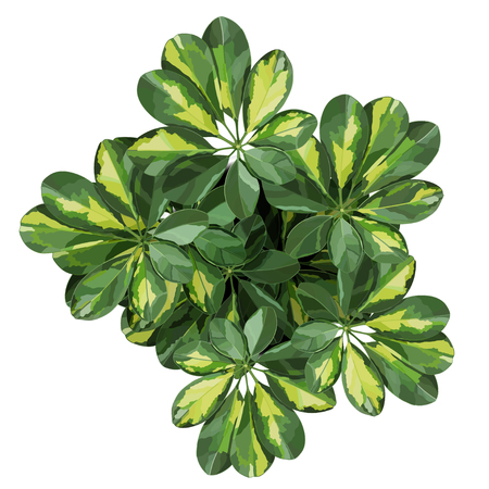 Schefflera potted houseplant top view detailed vector illustration