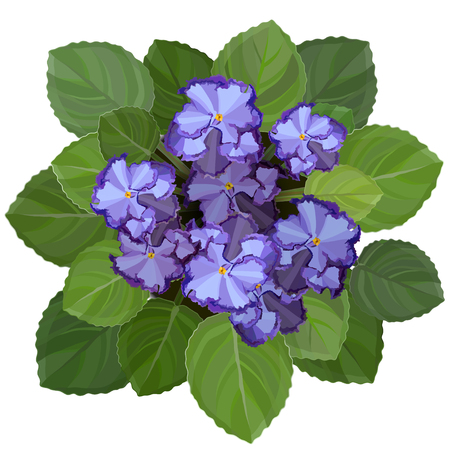 Potted african volet, saintpaulia, on white background. Top view detailed vector illustration