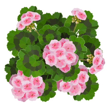 Salmon pink pelargonium flowers vector illustration. Garden or interior decoration Vettoriali