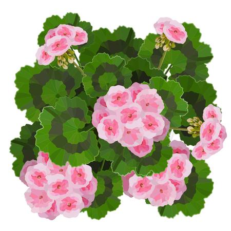 Salmon pink pelargonium flowers vector illustration. Garden or interior decoration Illustration