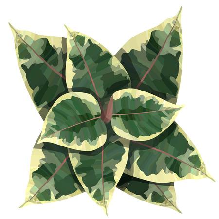 ficus elastica plant top view vector illustration