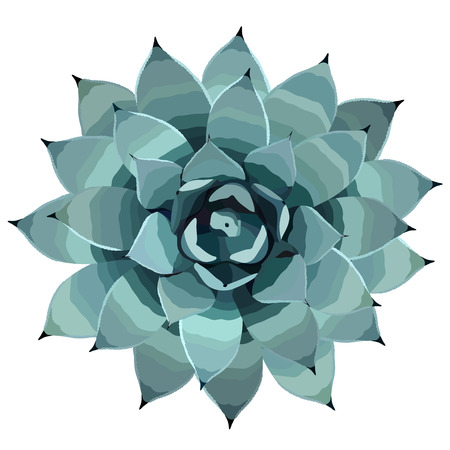 Top view of a blue agave plant vector illusration, houseplant