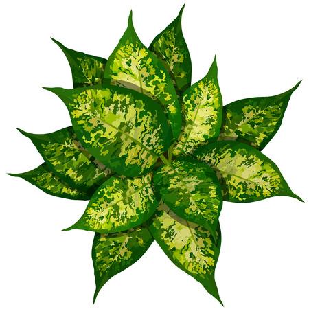 Dieffenbachia or dumbcane on white background in flower pot top view vector illustration