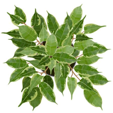 Decorative Ficus Benjamina tree top view vector illustration on white background Stock Vector - 124069074