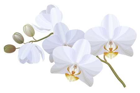 Vector realistic illustration of white orchid flowers on white background. Floral tropical design element