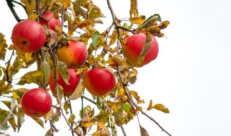 Autumn mood, sad and grey background and red wet bright apples