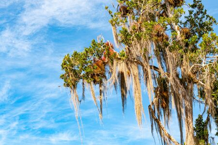 Branches of a big tree with Spanish moss draping down side view