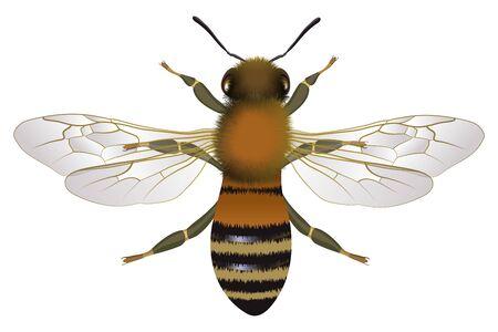 Vue rapprochée de l'abeille avec illustration vectorielle ailes ouvertes