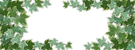 White panoramic background half covered by common ivy leaves. Background vector illustration with copy space frame