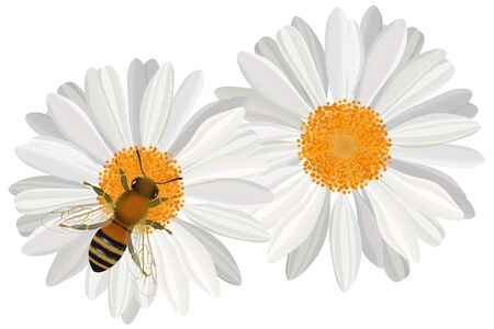 Close up view of bee on hcamomile flower vector illustration