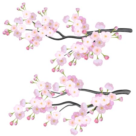 Vector bright two sakura branches, cherry flowers on white background