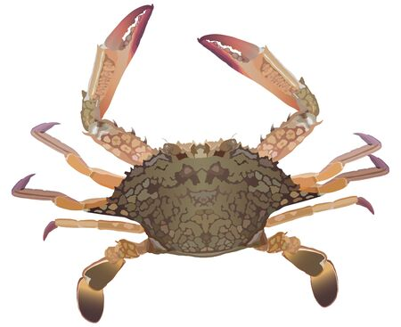 Fresh crab on white background detailed vector 向量圖像