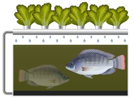 Aquaponics system with tilapia fish and lettuce 向量圖像